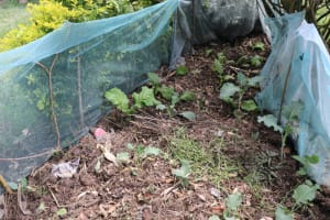 The Water Project: Shitavita Community, Patrick Burudi Spring -  A Kitchen Garden
