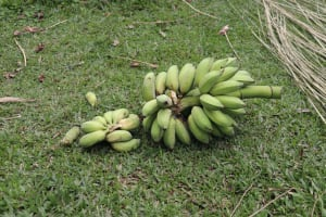 The Water Project: Shitavita Community, Patrick Burudi Spring -  Sweet Banana Harvest