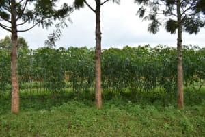 The Water Project: Silungai B Community, Tali Saya Spring -  Cassava Plantation