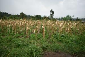 The Water Project: Silungai B Community, Tali Saya Spring -  Maize Farm