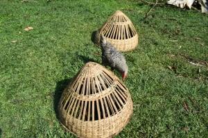The Water Project: Silungai B Community, Tali Saya Spring -  Chicken Walks Around Its Nighttime Coop