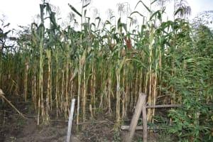 The Water Project: Mukhungula Community, Mulongo Spring -  Maize Farm
