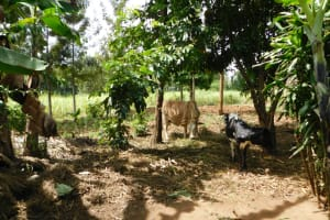 The Water Project: Khaunga A Community, Murutu Spring -  Animal Pen