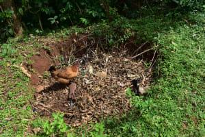The Water Project: Mukhuyu Community, Namukuru Spring -  Chicken Picks Through A Garbage Pit