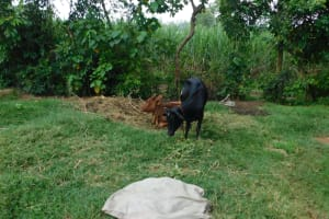 The Water Project: Maraba Community, Nambwaya Spring -  Animal Pen