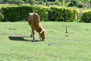 The Water Project: Emusaka Community, Muluinga Spring -  Livestock Keeping Is A Major Activity
