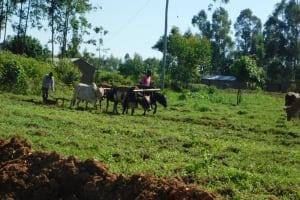 The Water Project: Bukalama Community, Wanzetse Spring -  Plowing With Livestock