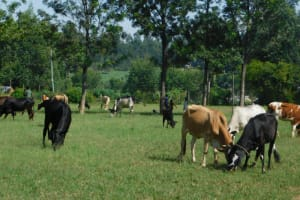 The Water Project: Mabanga Community, Ashuma Spring -  Cattle Grazing
