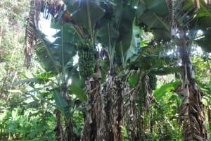 The Water Project: Mahira Community, Mukalama Spring -  Banana Plantation