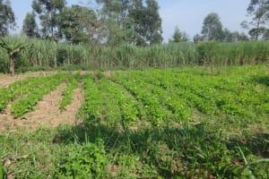 The Water Project: Mahira Community, Mukalama Spring -  Community Farm