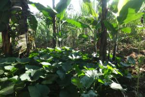 The Water Project: Mahira Community, Mukalama Spring -  Vegetable Farm