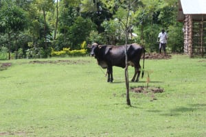 The Water Project: Lukala C Community, Livaha Spring -  Cow
