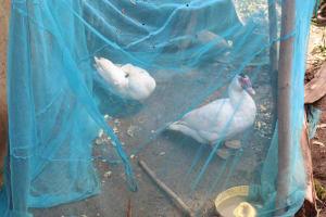 The Water Project: Lukala C Community, Livaha Spring -  Ducks