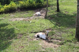 The Water Project: Lukala C Community, Livaha Spring -  Goats Resting