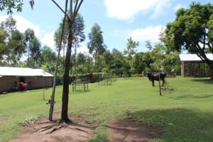 The Water Project: Lukala C Community, Livaha Spring -  Grazing Cow