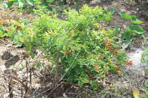 The Water Project: Lukala C Community, Livaha Spring -  Pepper Farm