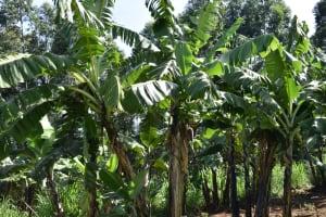 The Water Project: Kimang'eti Community, Kimang'eti Spring -  Banana Farming