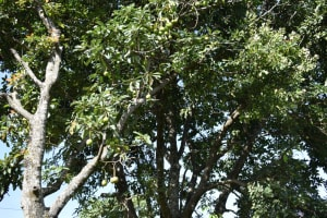 The Water Project: Kimang'eti Community, Kimang'eti Spring -  Fruit Farming