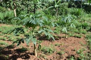 The Water Project: Kimang'eti Community, Kimang'eti Spring -  Pawpaw Farms