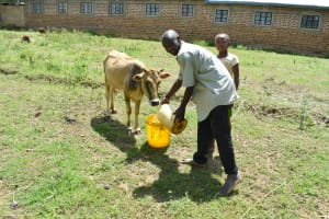 The Water Project: Shianda Township Community, Olingo Spring -  Watering His Cow