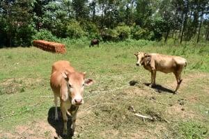 The Water Project: Shianda Township Community, Olingo Spring -  Cows