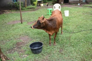 The Water Project: Maraba Community, Shisia Spring -  A Cow At Home