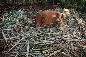 The Water Project: Machemo Community, Boaz Mukulo Spring -  Cow In Its Pen