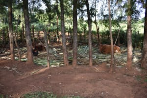 The Water Project: Machemo Community, Boaz Mukulo Spring -  Cows In Their Pen