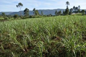 The Water Project: Machemo Community, Boaz Mukulo Spring -  Sugarcane Farming