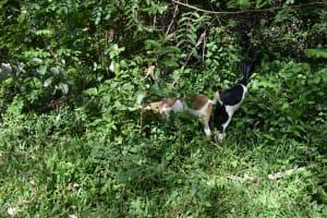 The Water Project: Makhwabuye Community, Majimazuri Lusala Spring -  Goats Grazing