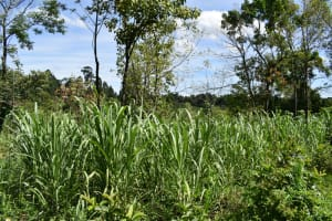 The Water Project: Makhwabuye Community, Majimazuri Lusala Spring -  Sugarcane Farming