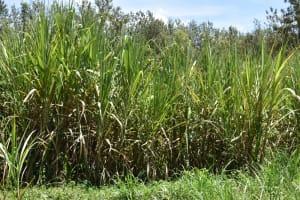 The Water Project: Mukangu Community, Mukasia Spring -  Sugarcane Farm