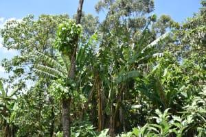 The Water Project: Mukangu Community, Mukasia Spring -  Banana Farm