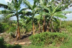 The Water Project: Bukhakunga Community, Wakukha Spring -  Banana Plantation