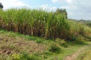 The Water Project: Bukhakunga Community, Wakukha Spring -  Sugarcane