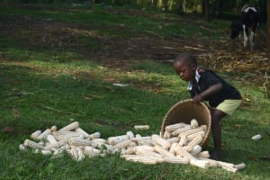 The Water Project: Indulusia Community, Wanyama Spring -  Airing Harvested Maize For Sundrying