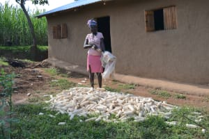 The Water Project: Indulusia Community, Wanyama Spring -  Airing Harvested Maize