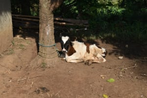 The Water Project: Indulusia Community, Wanyama Spring -  Calf Resting Under A Tree