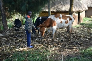 The Water Project: Indulusia Community, Wanyama Spring -  Feeding Cattle