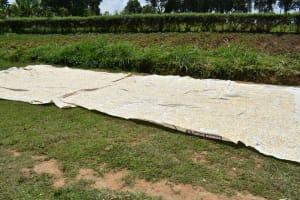 The Water Project: Shamoni Community, Shiundu Spring -  Maize Sundrying
