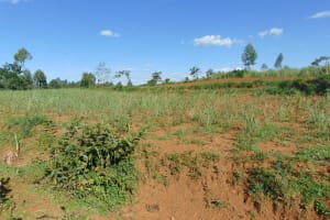 The Water Project: Indulusia Community, Osanya Spring -  A Young Sugarcane Farm