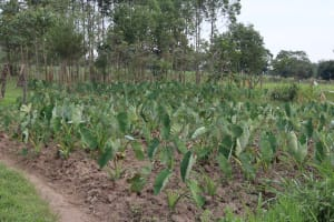 The Water Project: Makhwabuyu Community, Sayia Spring -  Yam Farming