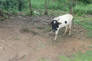 The Water Project: Shibikhwa Community, Musotsi Spring -  A Grazing Cow
