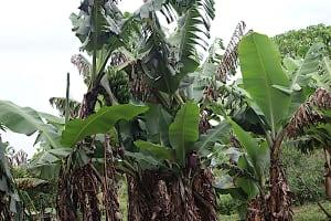 The Water Project: Makale Community, Kwalukhayiro Spring -  Banana Plantation
