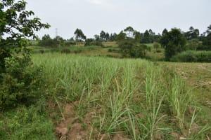 The Water Project: Wepika Community, Musa Mmasi Shikwe Spring -  Sugarcane Plantation