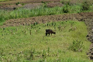 The Water Project: Lunyinya Community, Makunga Spring -  Cow Grazing