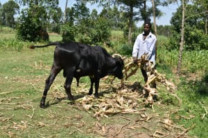The Water Project: Lunyinya Community, Makunga Spring -  Mr James Taking Care Of His Cattle