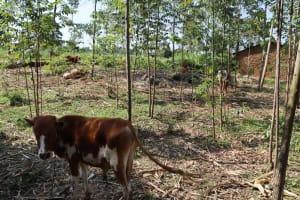 The Water Project: Mwera Community, Mukunga Spring -  Cows Grazing