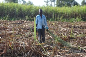 The Water Project: Mwera Community, Mukunga Spring -  Mr Johnstone Collecting Sugarcane Remains For His Cattle