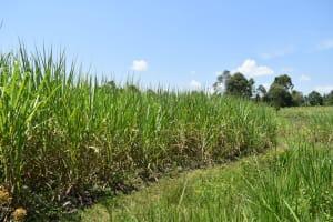 The Water Project: Makunga Community, Tabarachi Spring -  Sugarcane Farming
